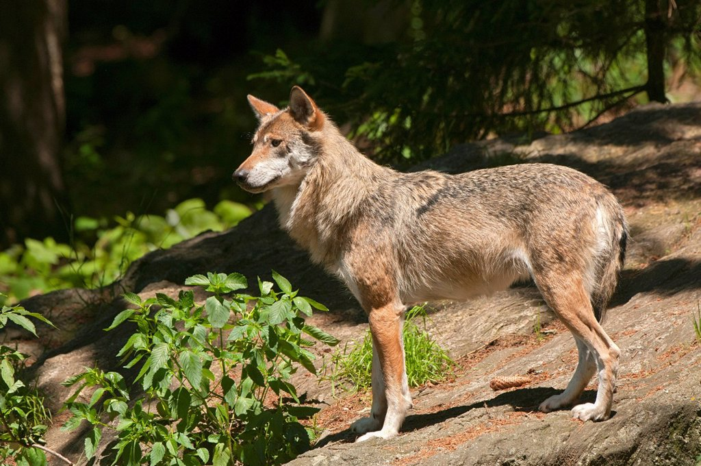 Wolf Canis lupus, Bavarian Forest National Park, Bavaria, Germany, Europe : Stock Photo