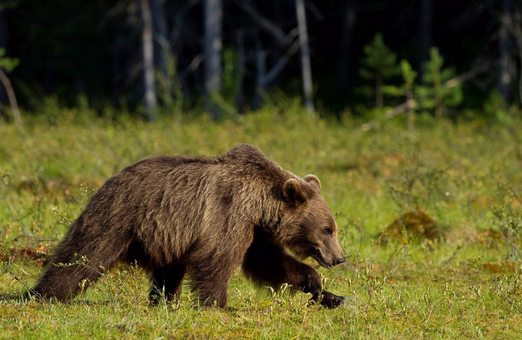 Stock Photo: 1848-671631 Brown Bear Ursus arctos, Karelia, Finland, Europe