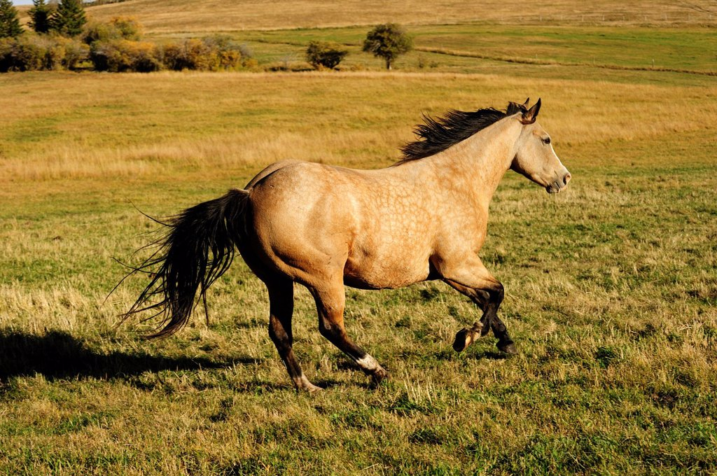 Stock Photo: 1848-672035 Horse galloping across the prairie, Saskatchewan, Canada