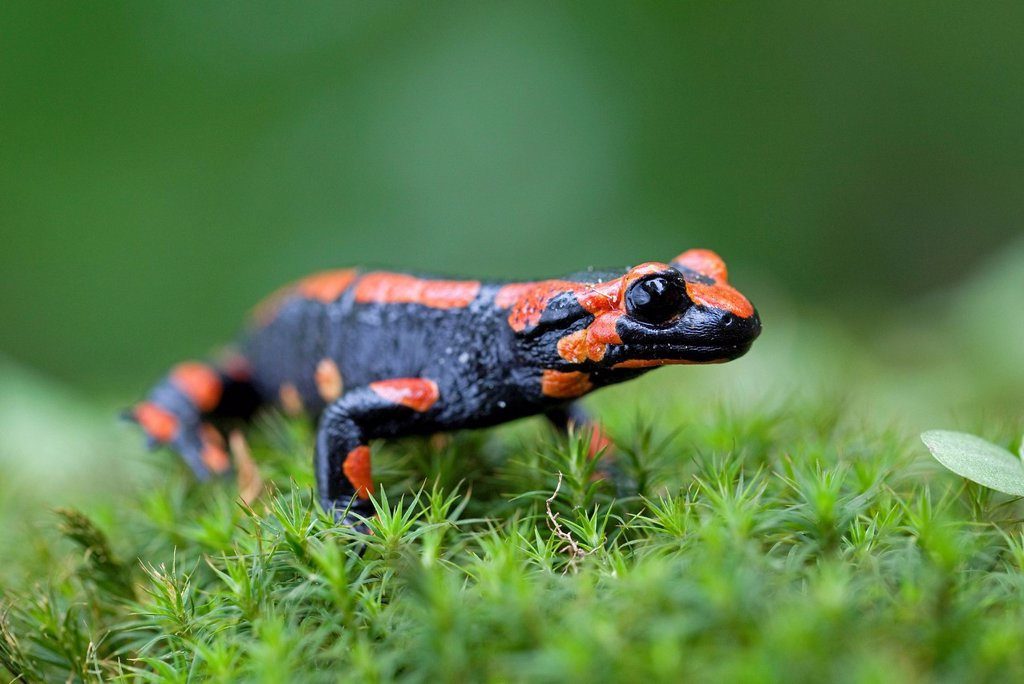 Stock Photo: 1848-672323 Fire salamander Salamandra salamandra, red variant, Harz mountains, Saxony_Anhalt, Germany, Europe
