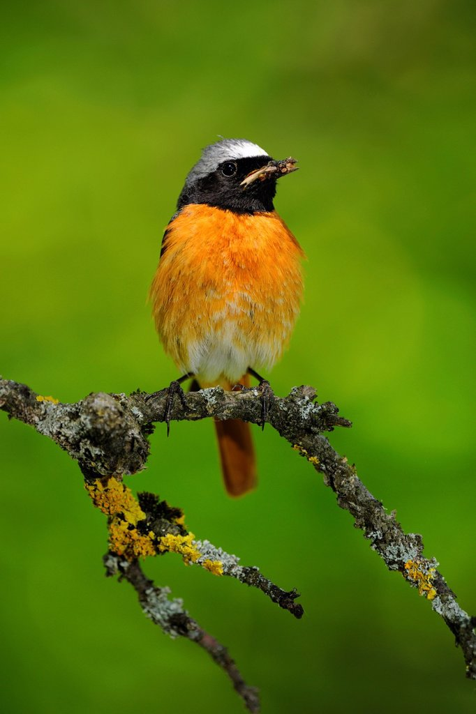 Stock Photo: 1848-673022 Common redstart Phoenicurus phoenicurus, male perched on a twig, Swabian Alps Biosphere Reserve, a UNESCO Biosphere Reserve, Baden_Wuerttemberg, Germany, Europe