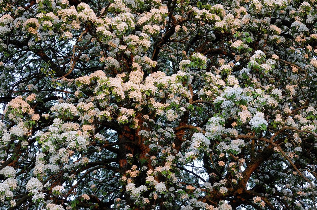 Stock Photo: 1848-674117 Pear Pyrus in full bloom