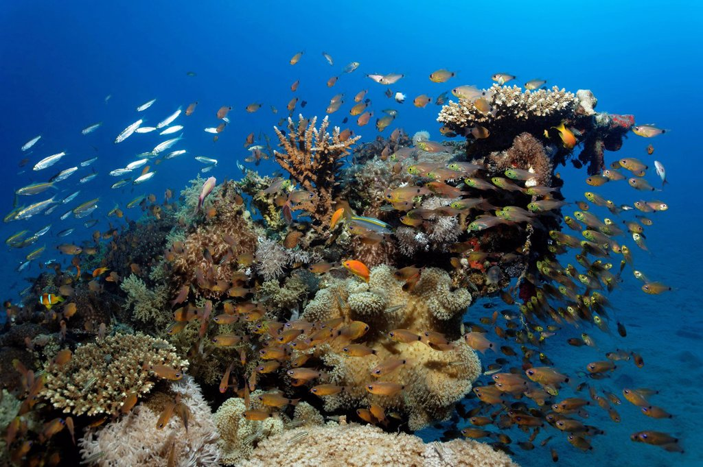 Stock Photo: 1848-674131 Coral block with many different fishes and corals, Makadi Bay, Hurghada, Egypt, Red Sea, Africa