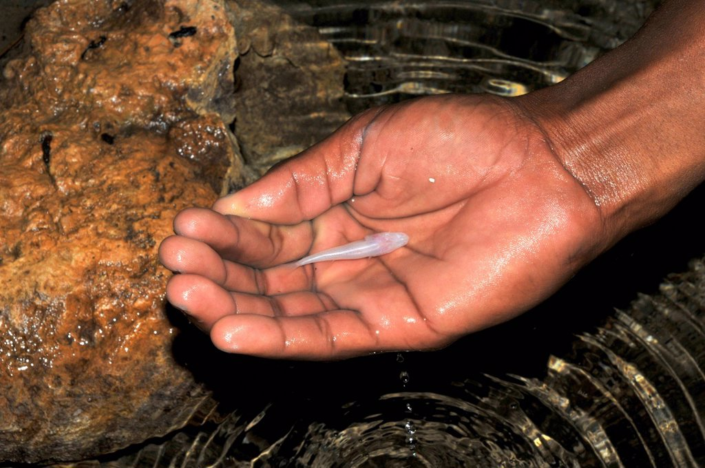 Stock Photo: 1848-674216 Hand holding a blind fish Typhleotris madgascarensis in the caves of Tsimanampetsota National Park in southwestern Madagascar, Africa, Indian Ocean