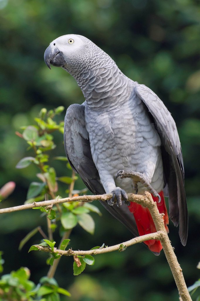 Stock Photo: 1848-674924 African grey parrot Psittacus erithacus, Democratic Republic of the Congo, Africa
