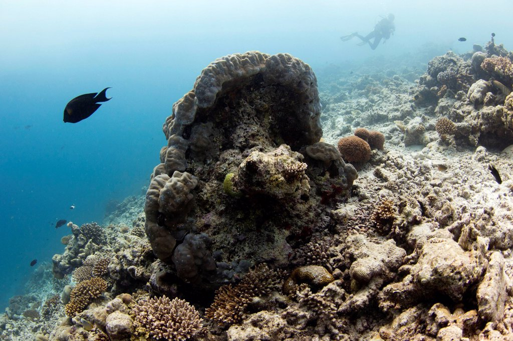 Stock Photo: 1848-675075 Coral, with diver at back, Irufushi, Noonu Atoll, Maldives, Indian Ocean