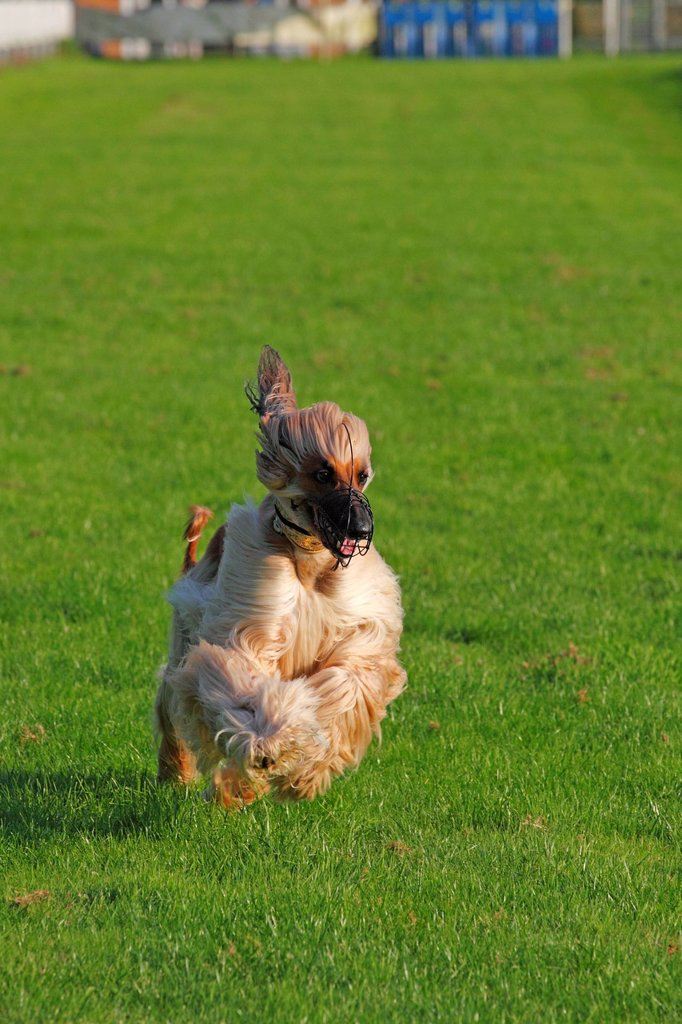 Stock Photo: 1848-676169 Afghan Hound dog Canis lupus familiaris, male, running on a race course, sighthound breed