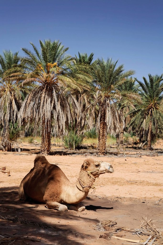 Dromedary Camelus dromedarius sitting underneath a date tree Phoenix in an oasis at Ksar Ghilane, Sahara, Tunisia, Maghreb region, North Africa, Africa : Stock Photo
