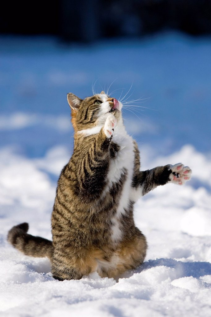 Tabby cat in the snow, trying to reach something with its paws, North Tyrol, Austria, Europe : Stock Photo