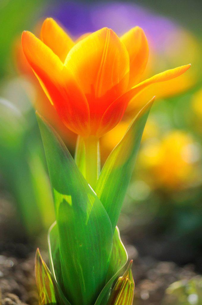 Tulip Tulipa, multiple exposures : Stock Photo