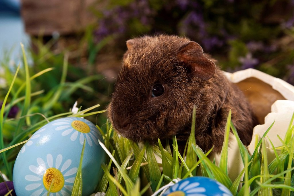 Stock Photo: 1848-679154 US Teddy guinea pig, young in an egg shell and Easter eggs
