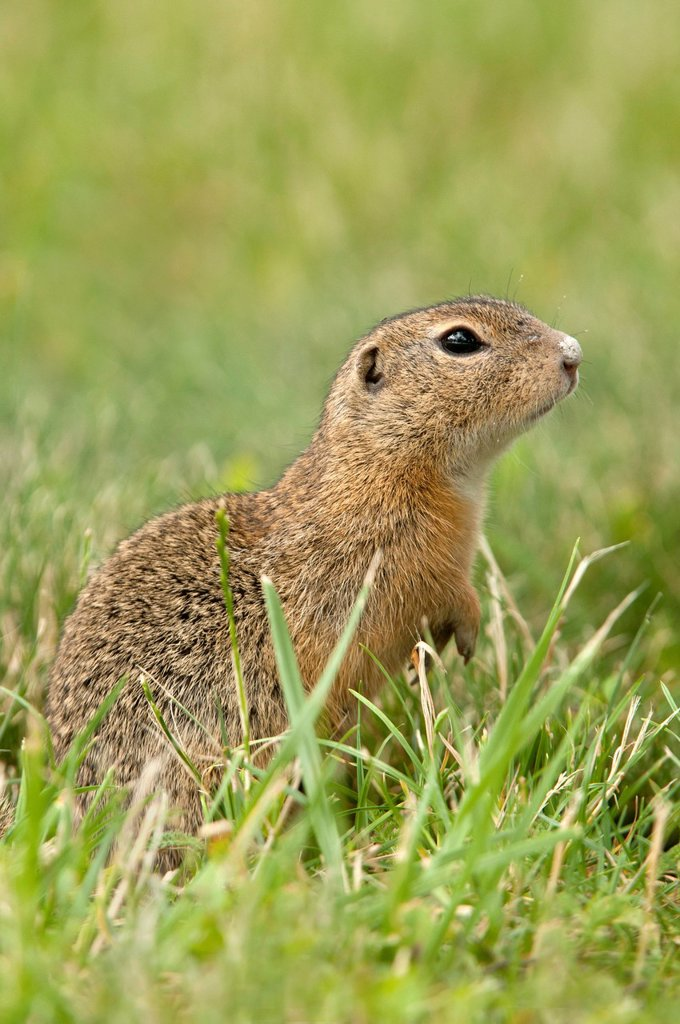 Stock Photo: 1848-680061 European ground squirrel or European souslik Citellus citellus, Perchtoldsdorf Heath, Perchtoldsdorf, Lower Austria, Europe