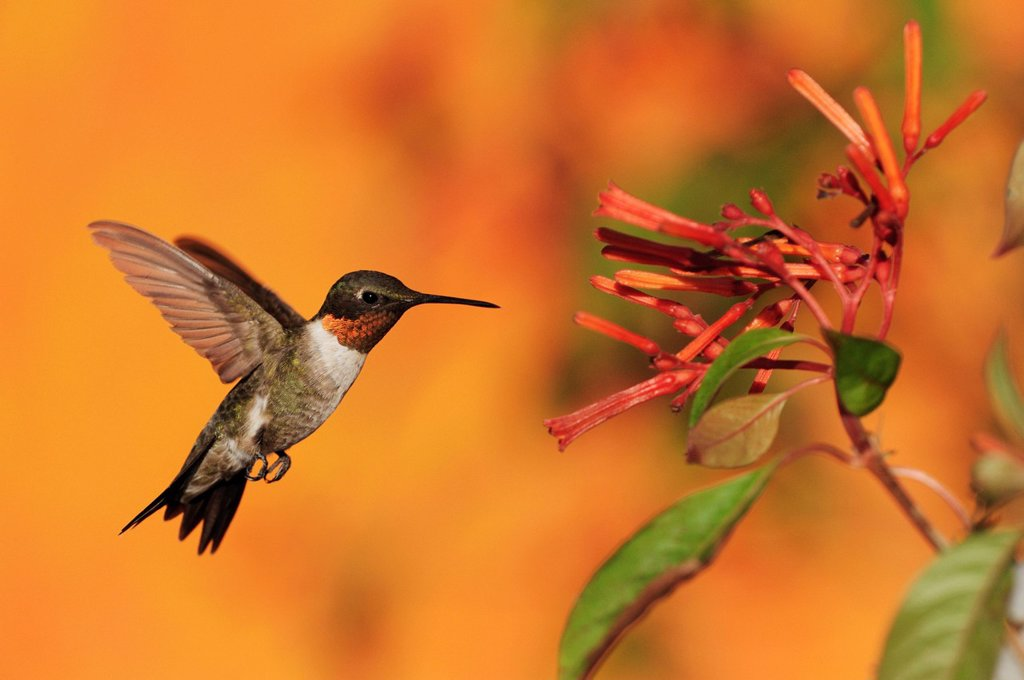 Stock Photo: 1848-681816 Ruby_throated Hummingbird Archilochus colubris, male in flight feeding on Firebush Hamelia patens flower, Hill Country, Central Texas, USA