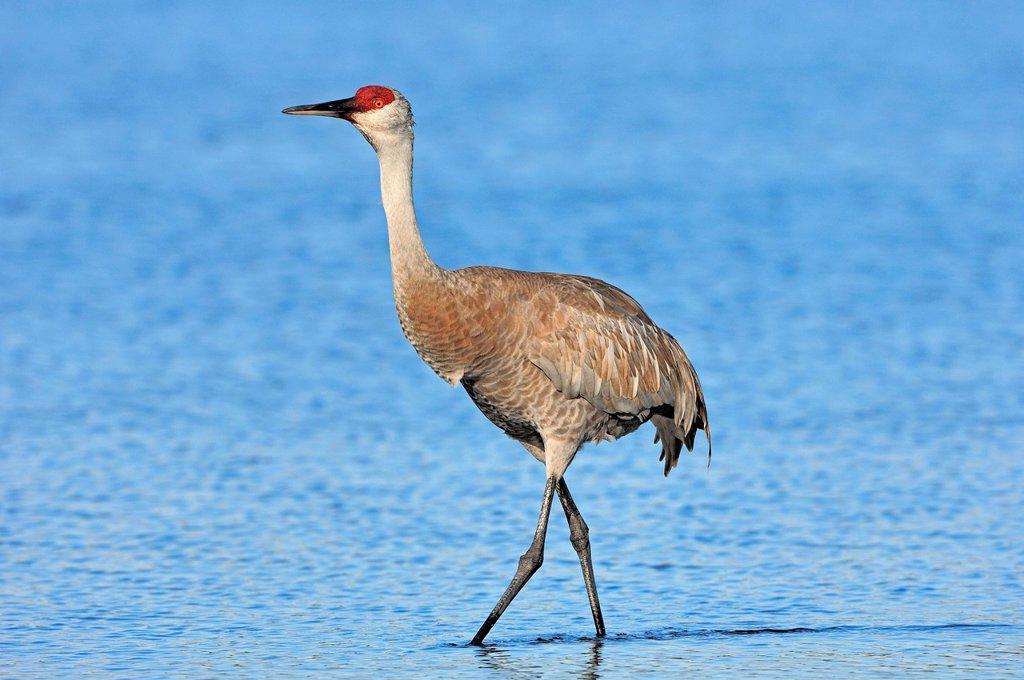 Stock Photo: 1848-682221 Florida Sandhill Crane Grus canadensis pratensis, Myakka River State Park, Florida, USA