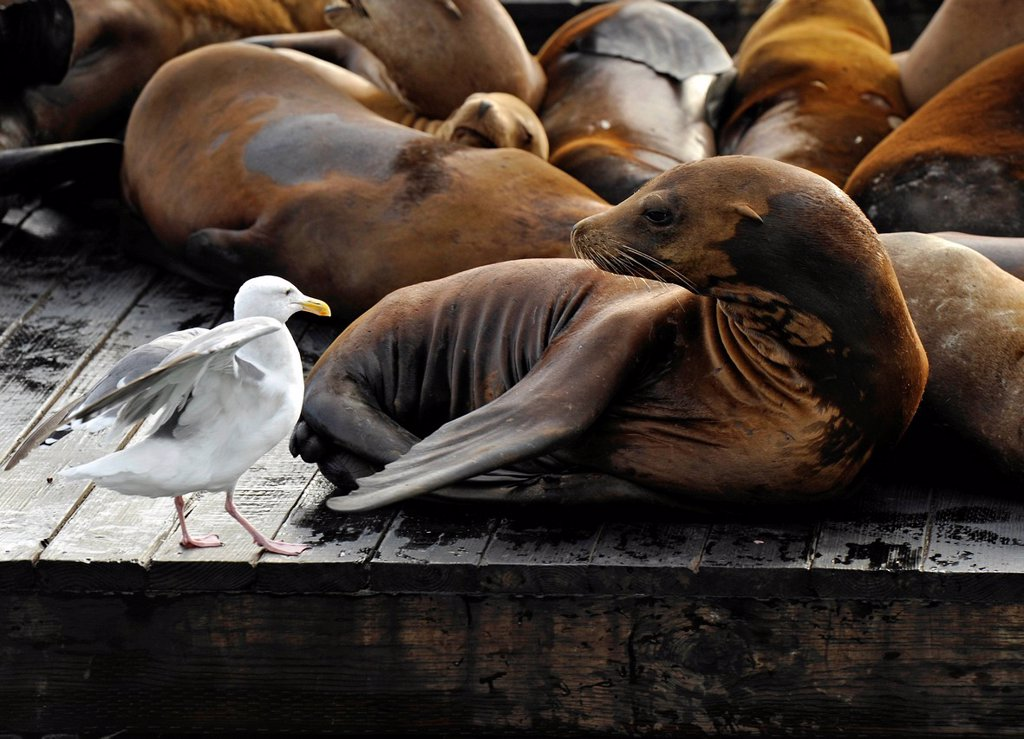 Stock Photo: 1848-682687 Western Gull Larus occidentalis and California Sea Lions Zalophus californianus on Pier 39, Fisherman´s Wharf, harbour, San Francisco, California, United States of America, USA