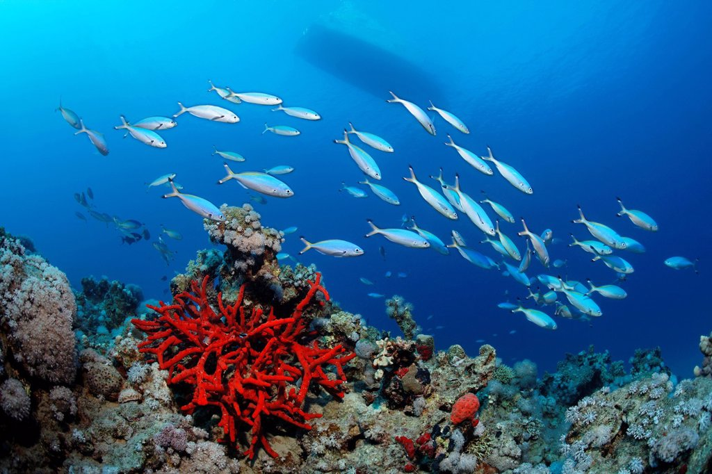 Stock Photo: 1848-682949 Coral reef with Magnificant Fire Sponge Latrunculia magnifica, shoal of Suez Fusiliers Caesio suevica, boat, Makadi Bay, Hurghada, Egypt, Red Sea, Africa