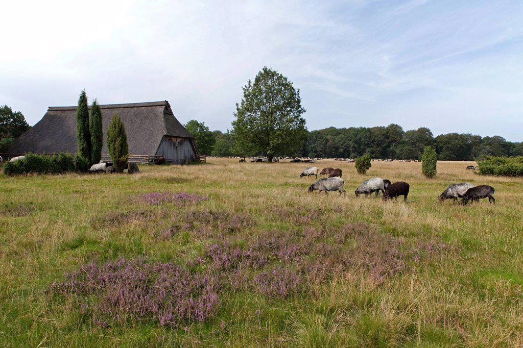 Stock Photo: 1848-684627 Sheep, historic sheep barn near Wilsede, Lueneburg Heath, Lower Saxony, Germany, Europe