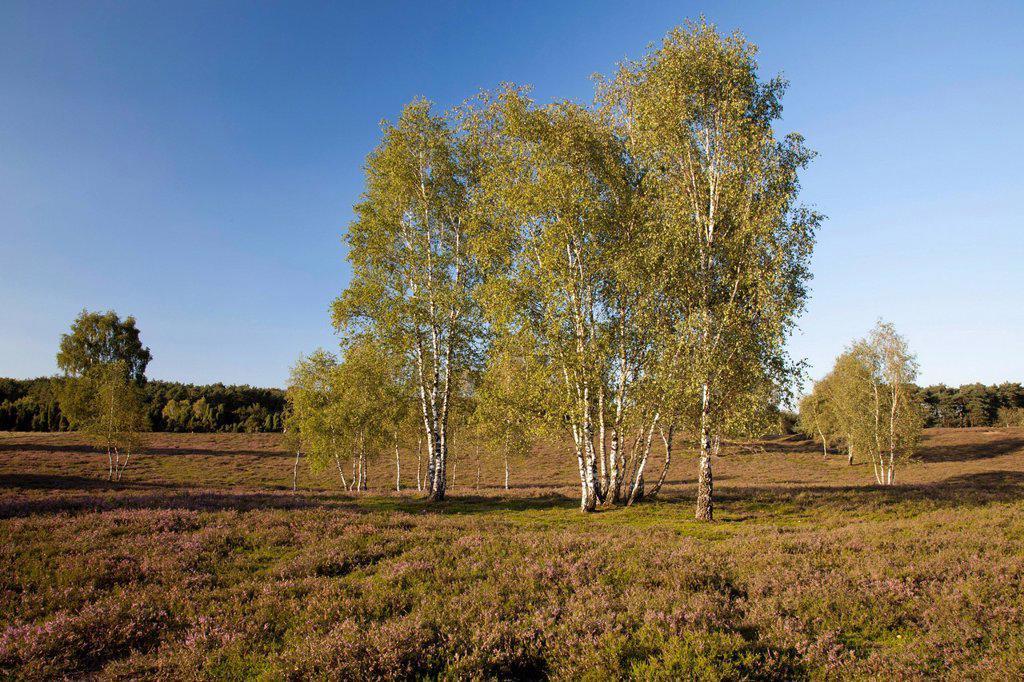 Blooming heather and birch trees, Westruper Heide Nature Reserve, Hohe Mark Nature Park, Muensterland, North Rhine_Westphalia, Germany, Europe, PublicGround : Stock Photo