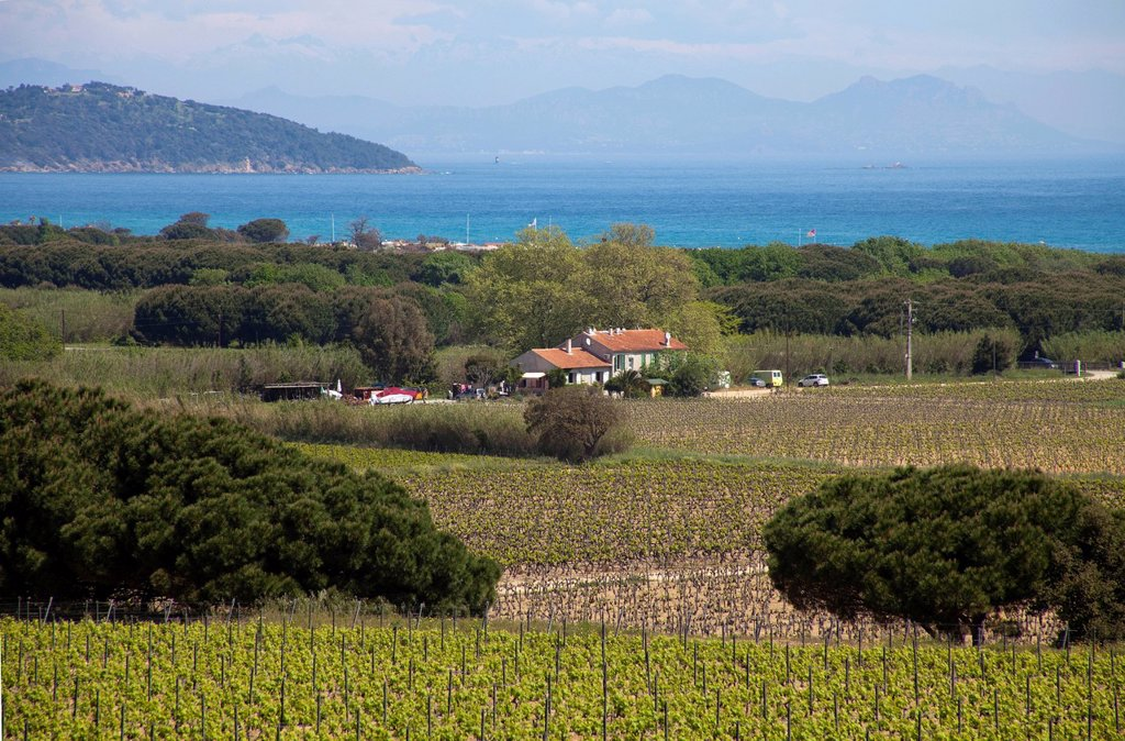 Views over vineyards towards the Gulf of St. Tropez, Alpes_Maritimes, Cote d´Azur, Southern France, France, Europe : Stock Photo