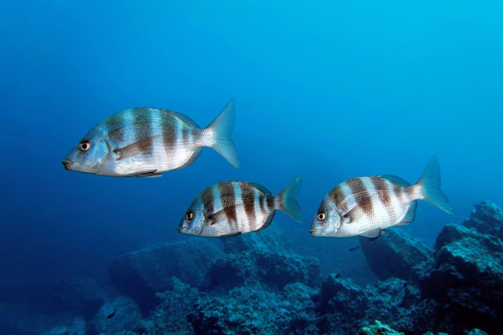 Stock Photo: 1848-685382 Zebra Sea Bream, Diplodus cervinus, swimming in reef, Madeira, Portugal, Europe, Atlantic, Ocean