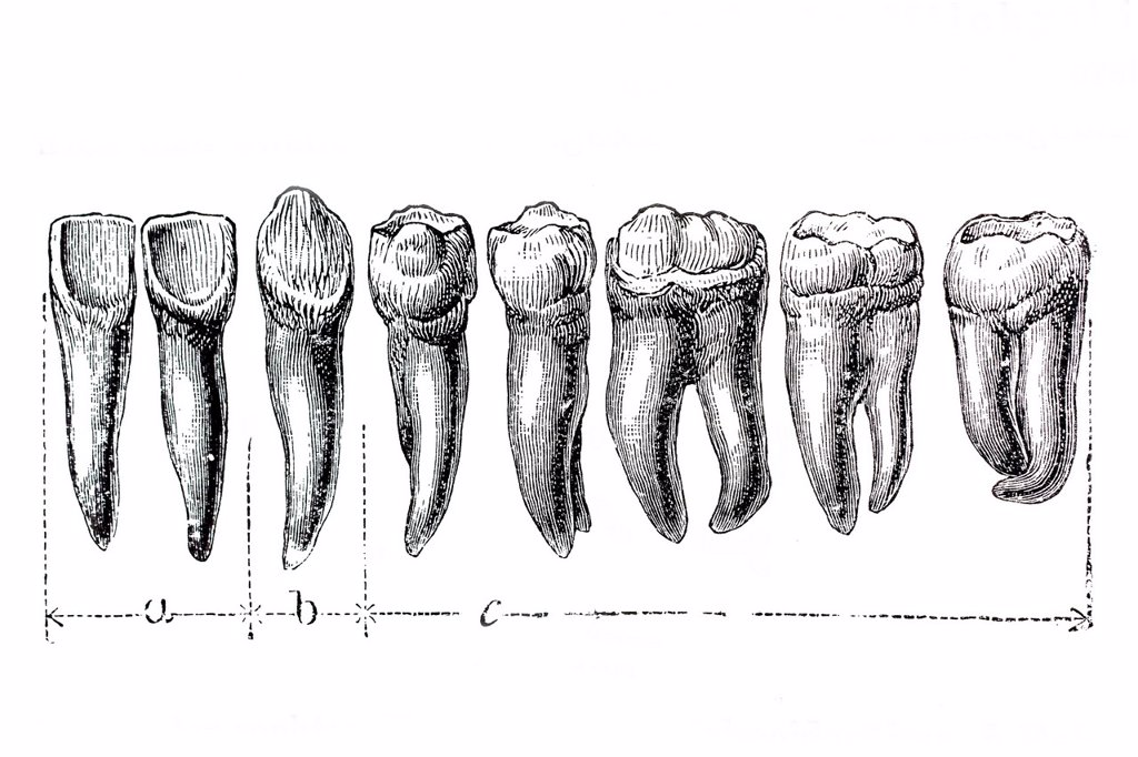 Stock Photo: 1848-685459 Human teeth, anatomical illustration