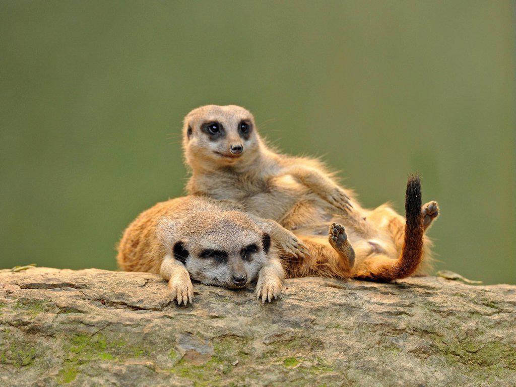 Stock Photo: 1848-686960 Meerkats Suricata suricatta, juveniles