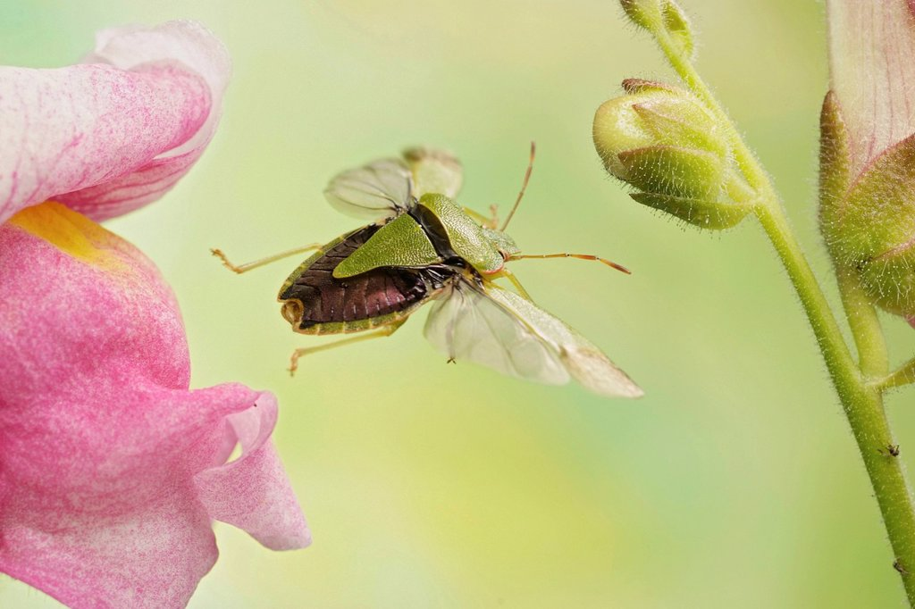 Stock Photo: 1848-687330 Common Green Shieldbug Palomena prasina, in flight