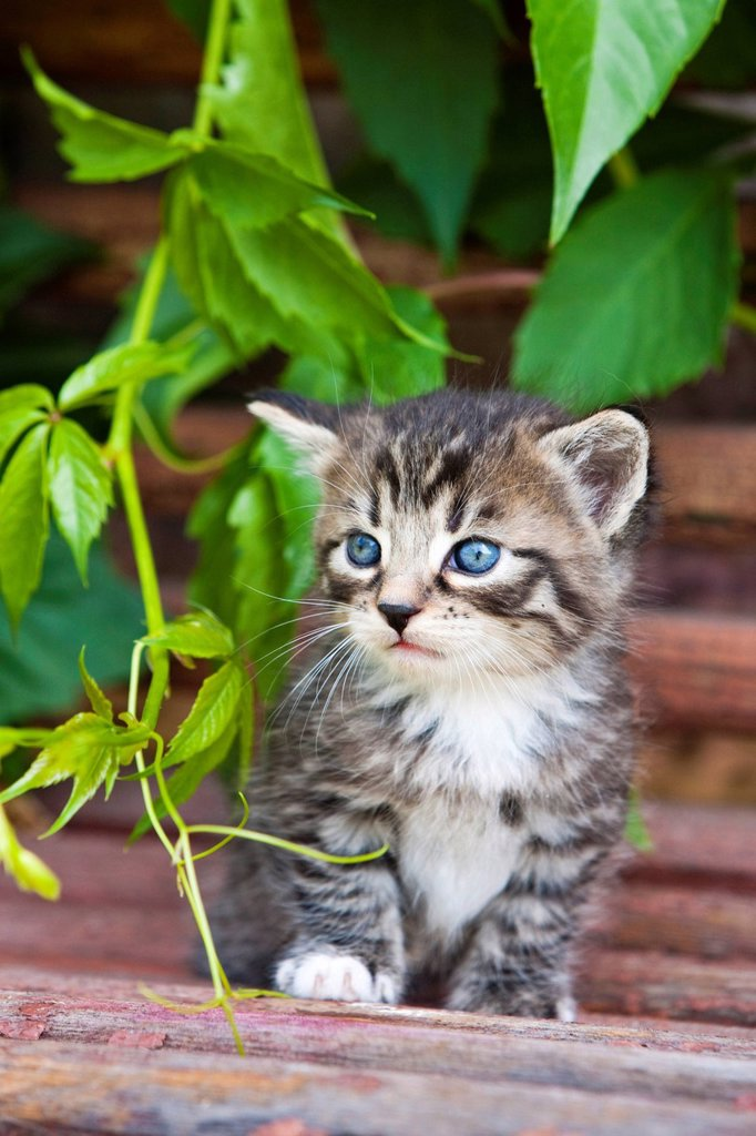Stock Photo: 1848-688331 Grey tabby kitten, sitting on a wooden bench, North Tyrol, Austria, Europe