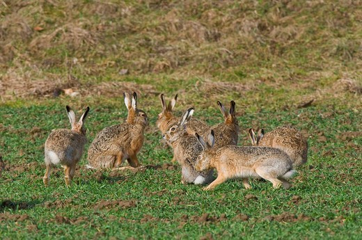 Stock Photo: 1848-68940 Hares Lepus europaeus