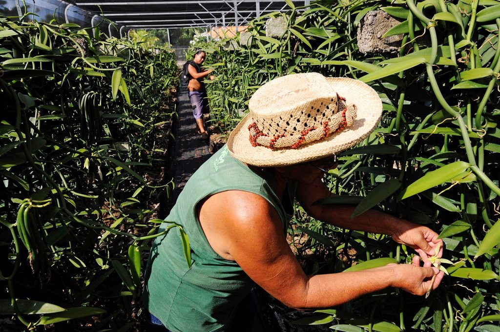 Stock Photo: 1848-689710 Gardener working in the vanilla production, Vanilla Orchid Vanilla planifolia, greenhouse, Moorea, Windward Islands, Society Islands, French Polynesia, Pacific Ocean