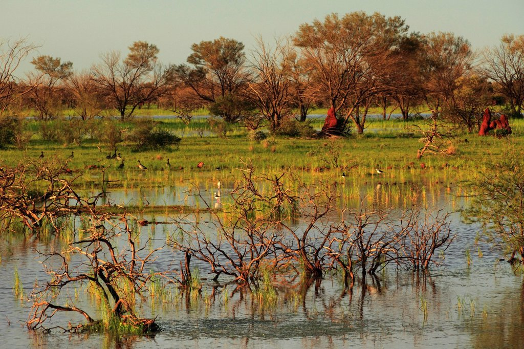 Flooded landscape with various birds, Pilbara, Western Australia, Australia : Stock Photo