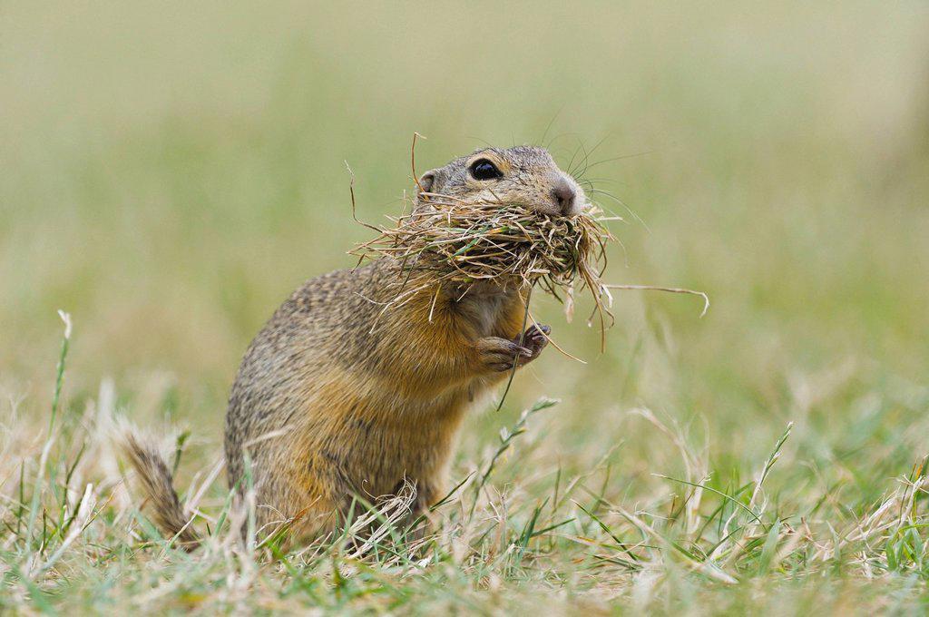 Stock Photo: 1848-690007 Ground squirrel Spermophilus citellus, Neusiedler See National Park, Austria, Europe
