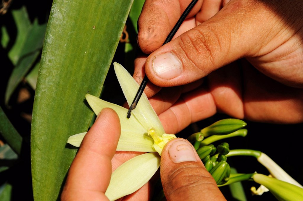 Stock Photo: 1848-690927 Vanilla Orchid Vanilla planifolia, vanilla production, greenhouse, Moorea, Windward Islands, Society Islands, French Polynesia, Pacific Ocean