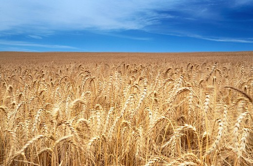 Stock Photo: 1848-69134 Wheat field, Caldedon, Western Cape, South Africa, Africa
