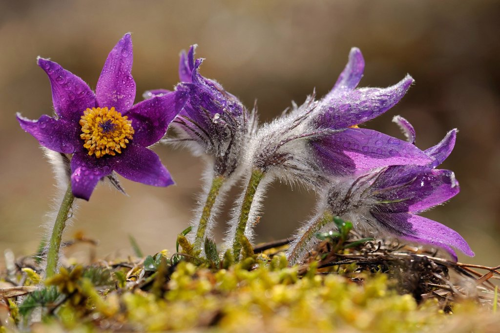 Stock Photo: 1848-693751 Pasque Flower Pulsatilla vulgaris, flowering group, Swabian Mountains Biosphere Reserve, UNESCO World Heritage Site, Baden_Wuerttemberg, Germany, Europe