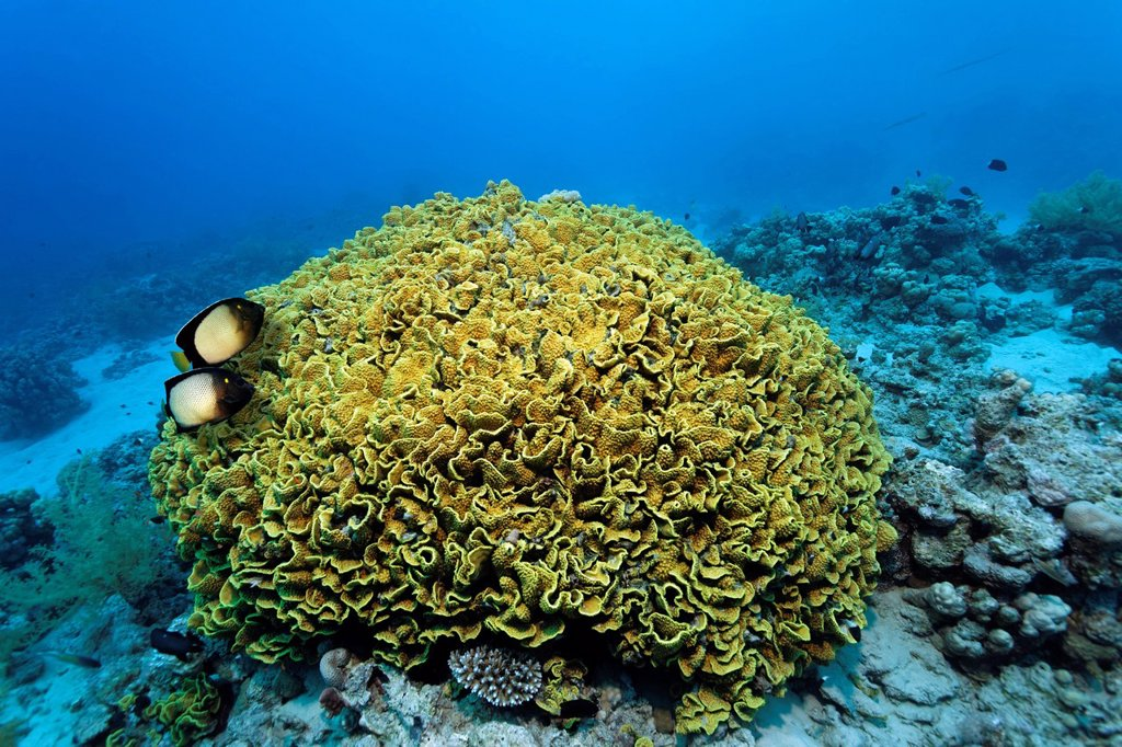 Stock Photo: 1848-694265 Couple Dusky Angel or Yellow_Ear_Angelfish Apolemichthys xanthotis, above Yellow scroll coral Turbinaria reniformis, Makadi Bay, Hurghada, Egypt, Red Sea, Africa