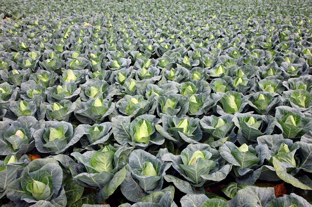 Stock Photo: 1848-695709 Pointed sweetheart cabbage growing on a field, Germany, Europe