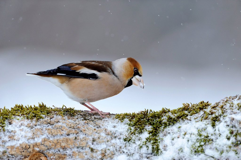Hawfinch Coccothraustes coccothraustes, during snowfall, Bulgaria, Europe : Stock Photo