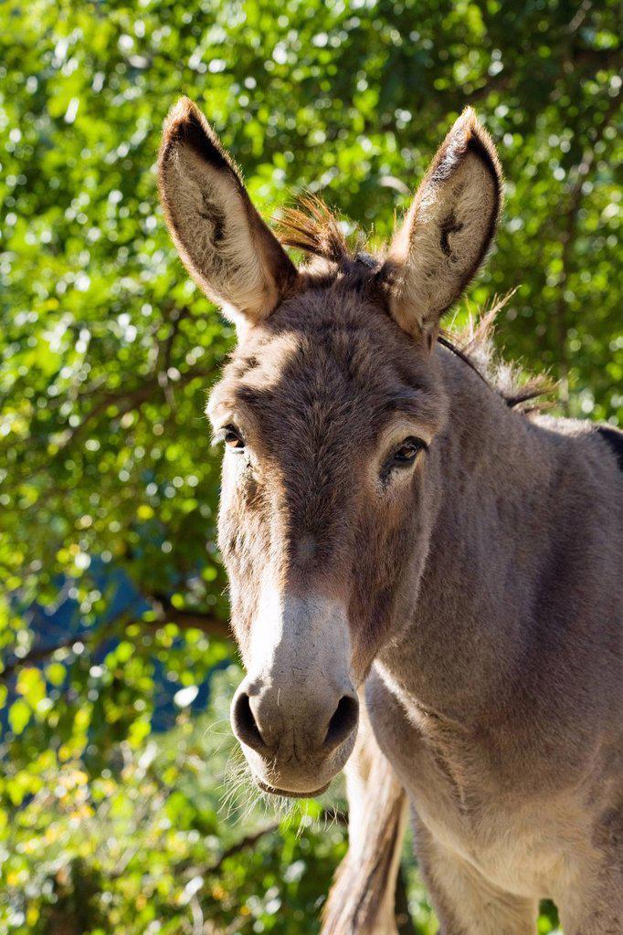 Donkey, portrait, Cevennes, France, Europe : Stock Photo