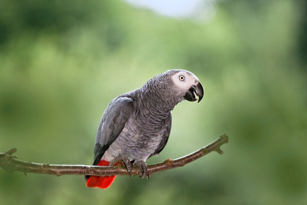 Stock Photo: 1848-696517 African Grey Parrot Psittacus erithacus, Africa