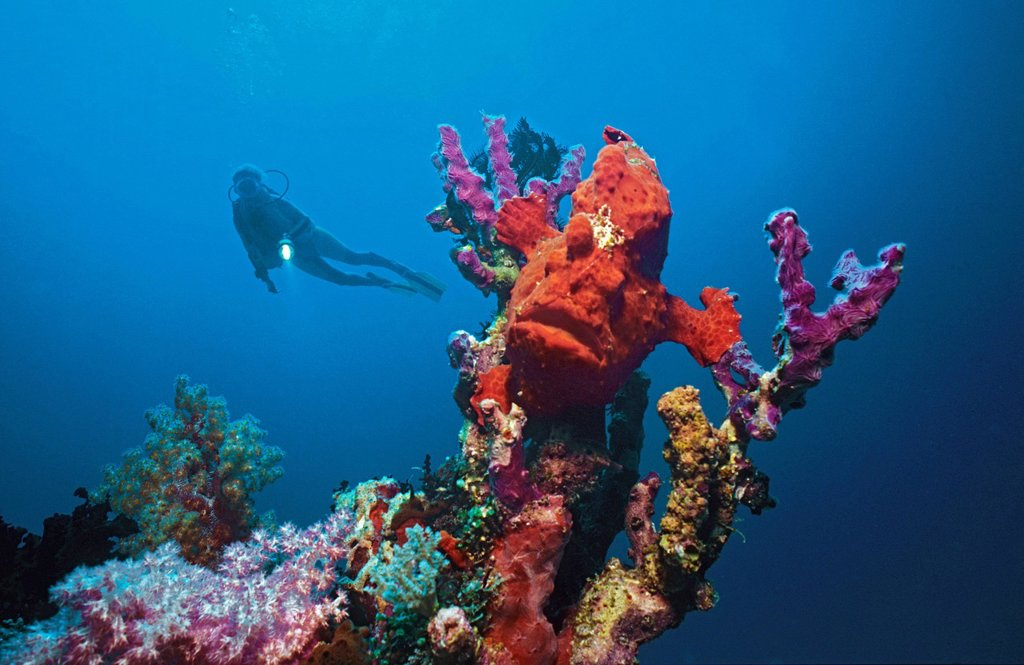 Stock Photo: 1848-696795 Diver and giant frogfish Antennarius commersoni, Maldives, Indian Ocean, Asia