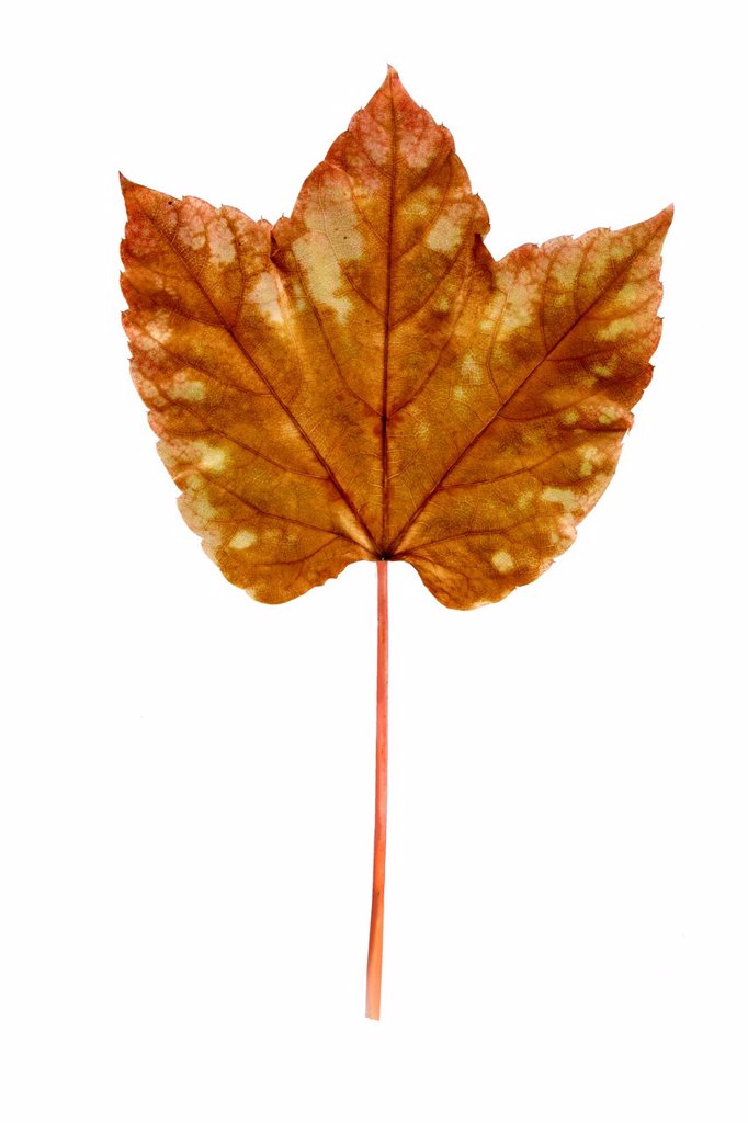 Vine leaf, Japanese creeper, Boston ivy, Grape ivy, or Japanese ivy Parthenocissus tricuspidata, autumn leaf turning brown : Stock Photo