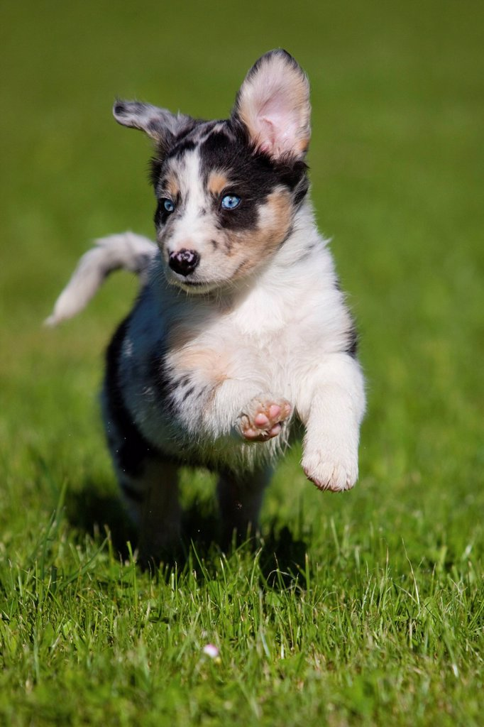 Stock Photo: 1848-698186 Australian Shepherd, puppy running in a meadow, northern Tyrol, Austria, Europe