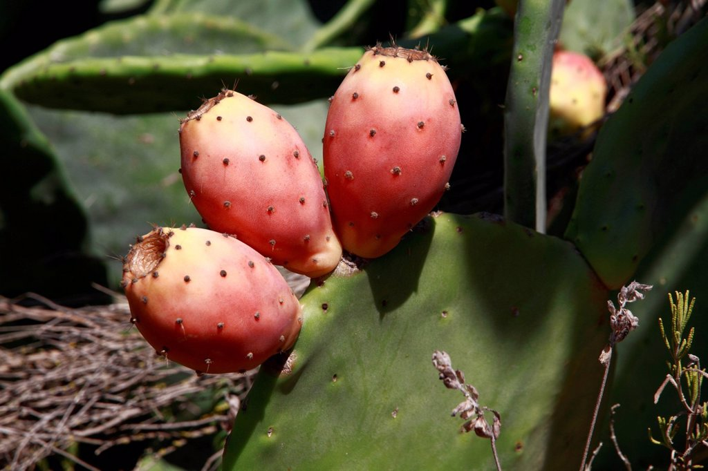 Stock Photo: 1848-698196 Prickly pear Opuntia sp., Ibiza, Spain, Europe