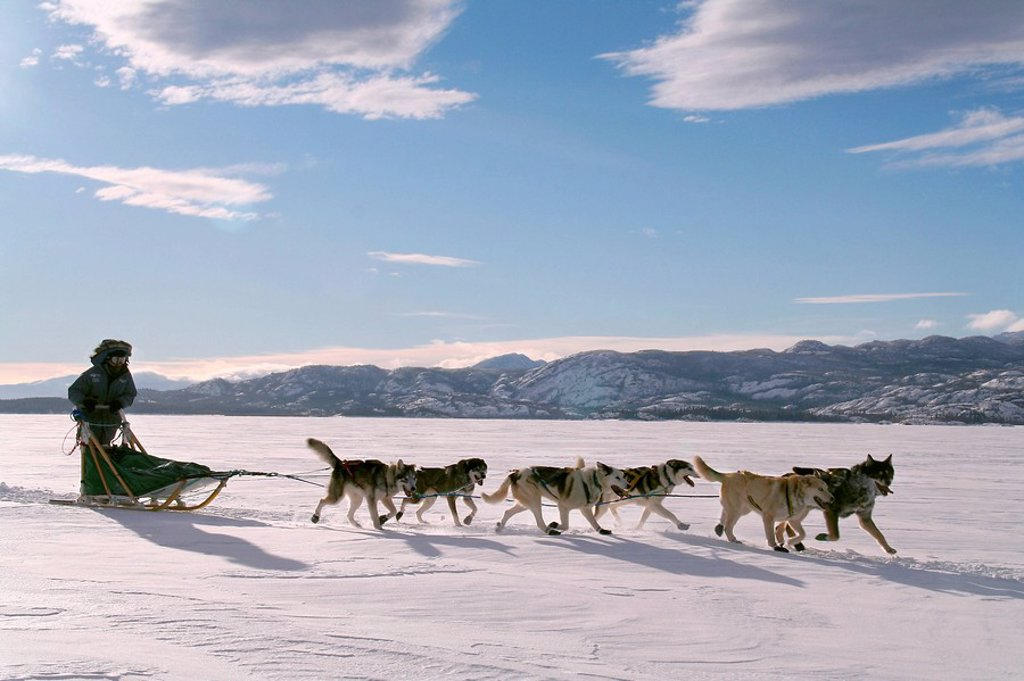 Stock Photo: 1848-69833 Dog team / dog sled with musher, frozen Lake Laberge, Yukon Territory, Canada