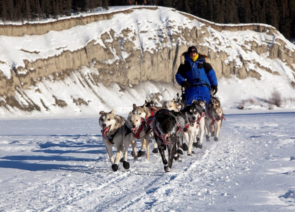 Running dog team, sled dogs, mushing, Alaskan Huskies at the start of the Yukon Quest 1, 000_mile International Sled Dog Race 2011, ice of frozen Takhini River, Yukon Territory, Canada : Stock Photo