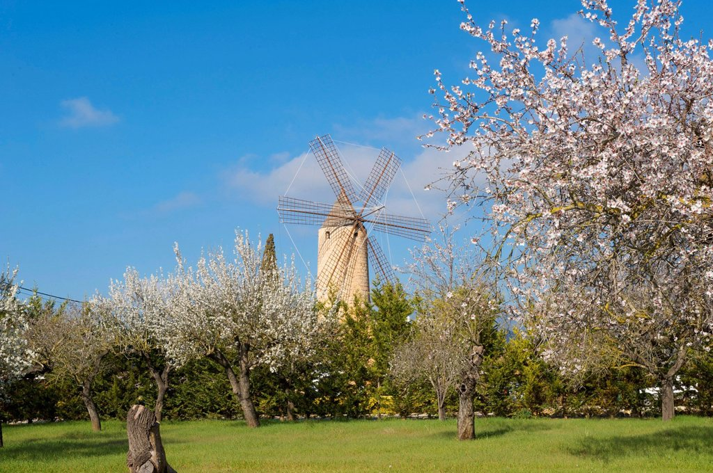 Stock Photo: 1848-698442 Blossoming almond trees and windmill in Santa Maria del Cami, Majorca, Balearic Islands, Spain, Europe