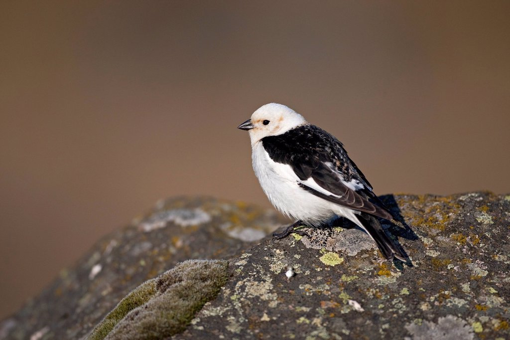 Stock Photo: 1848-698855 Snow Bunting Plectrophenax nivalis, male, Iceland, Europe