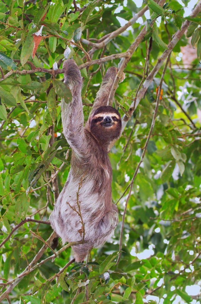 Stock Photo: 1848-700740 Brown_throated three_toed sloth Bradypus variegatus climbing a tree, Cahuita National Reserve, Limon, Costa Rica, Central America
