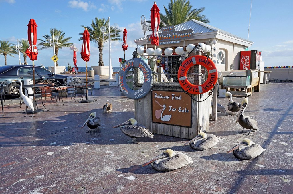 Feeding pelicans for payment, The Pier, Saint Petersburg, Florida, United States, USA : Stock Photo